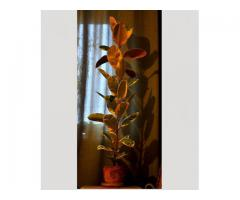 Большой фикус вида Эластика, пестрый
